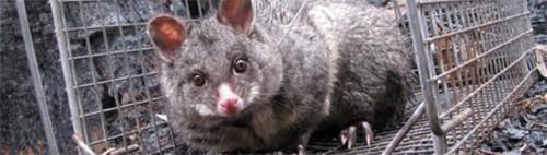 trapped possum