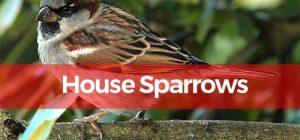 house sparrowPesky Possum Pest Control