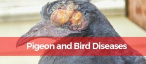 pigeon with disease