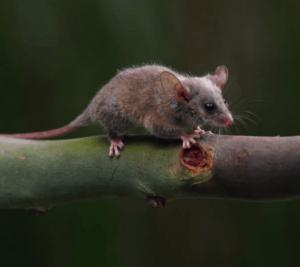 little pygmy possum Pesky Possum Pest Control