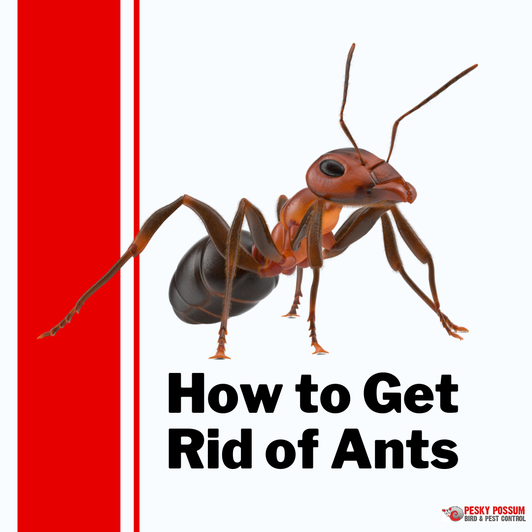 Pesky Possum Bird & Pest Control | The Best Natural Ways to Get Rid of Ants in Australia