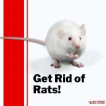 Pesky Possum Rat Control
