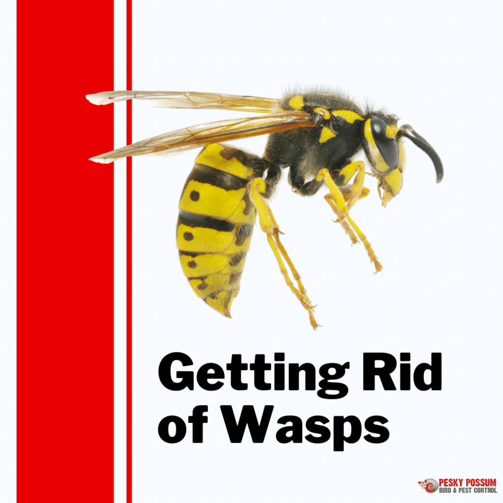 Pesky Possum Bird & Pest Control | How To Get Rid Of Wasps