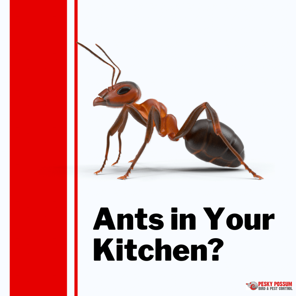 Pesky Possum Bird & Pest Control | How to Get Rid of Ants in Your Kitchen