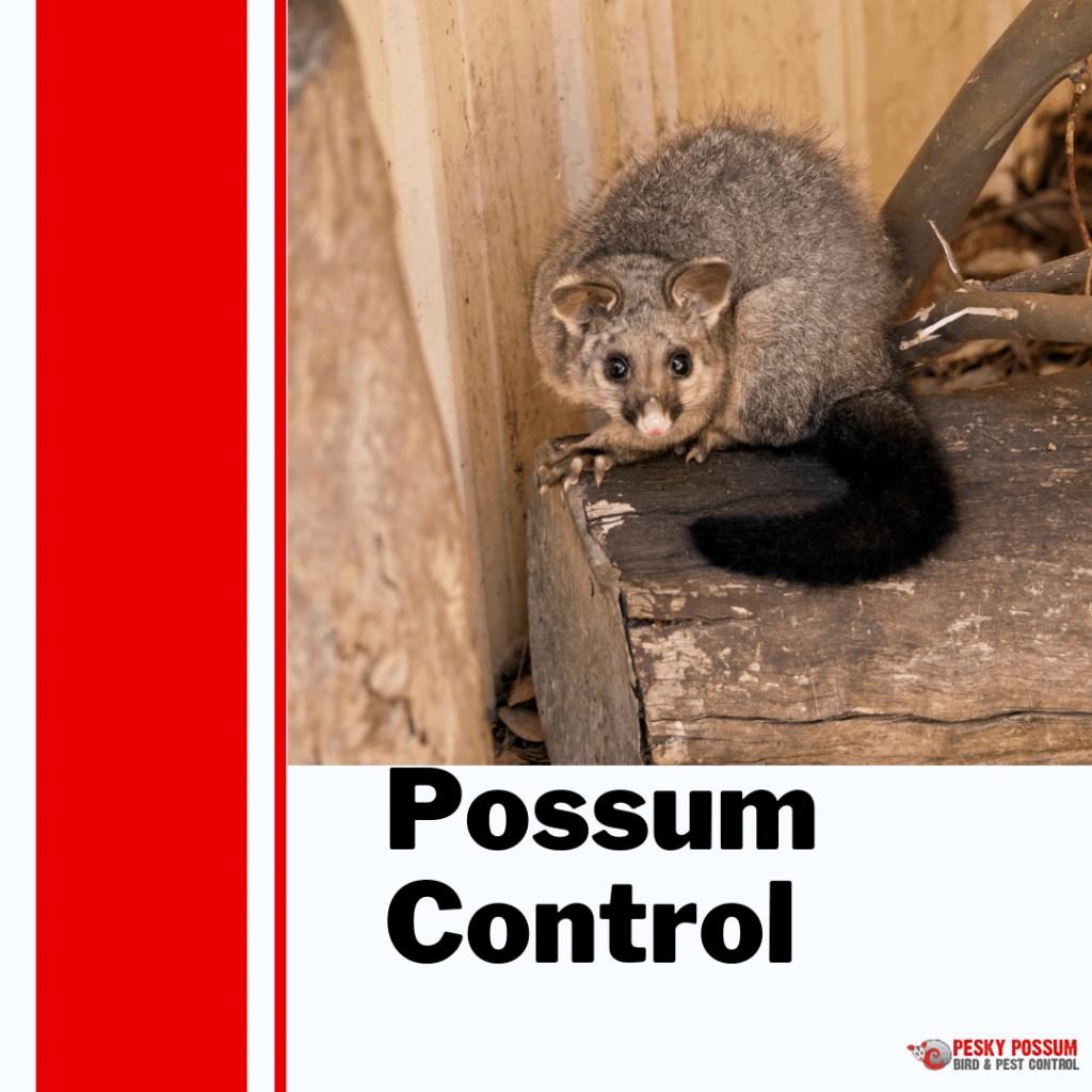 Pesky Possum Bird & Pest Control | How to STOP Possums Living In Your Roof