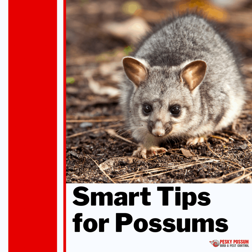 Pesky Possum Bird & Pest Control | Smart Tips for Possums