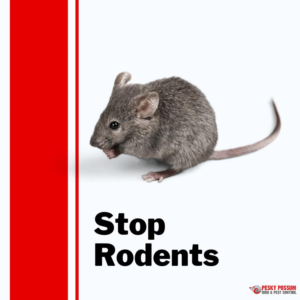 Pesky Possum Bird & Pest Control | How To Stop Rodents