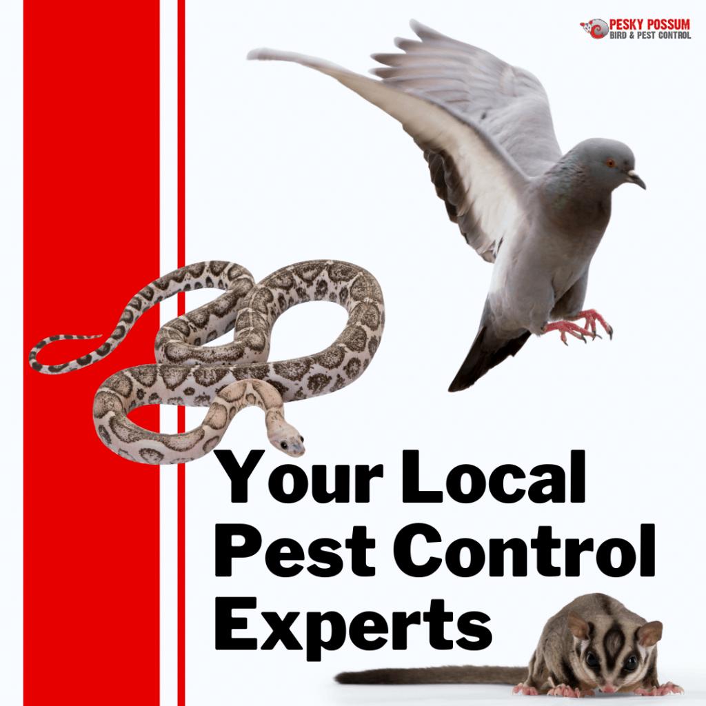 Pesky Possum – Your Local Possum, Bird and Pest Control Specialists