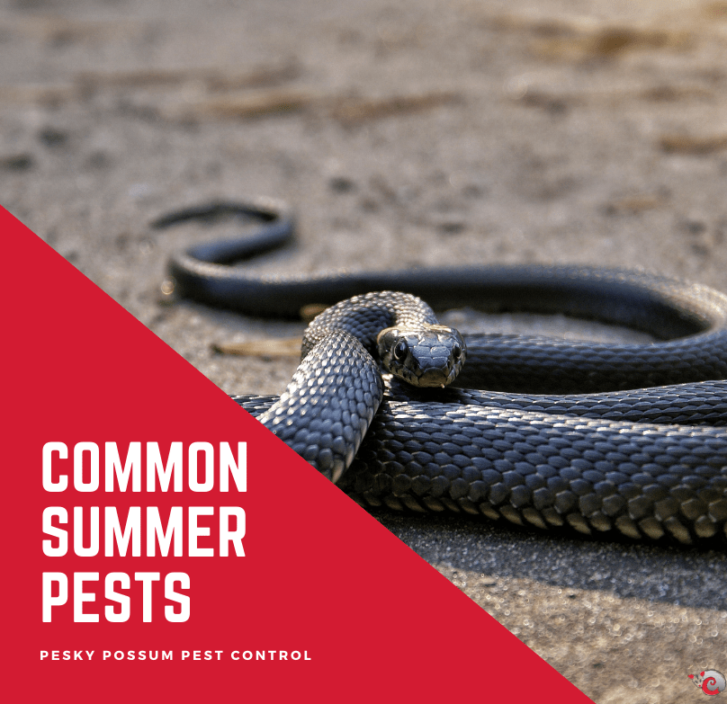 Pesky Possum Bird & Pest Control | Pests To Look Out For in the Australian Summer