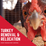 Pesky Possum Bird & Pest Control | Turkey Removal and Relocation in Brisbane