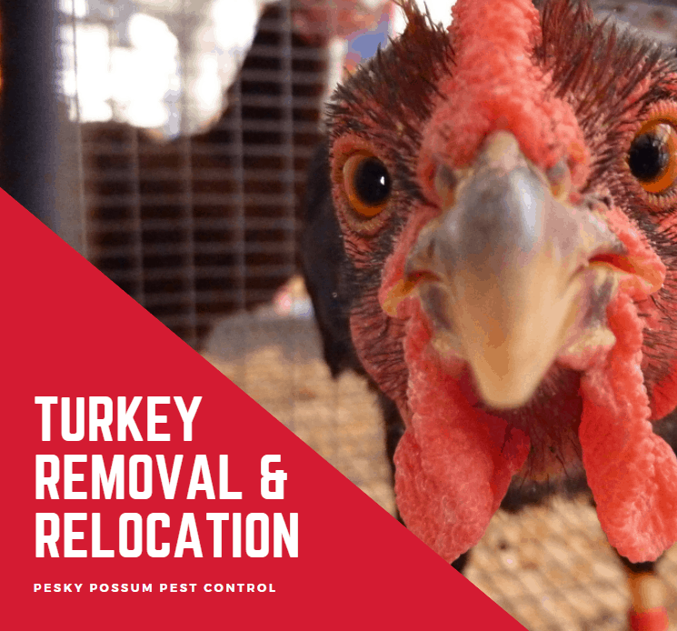 Pesky Possum Bird & Pest Control | Turkey Removal and Relocation in Brisbane