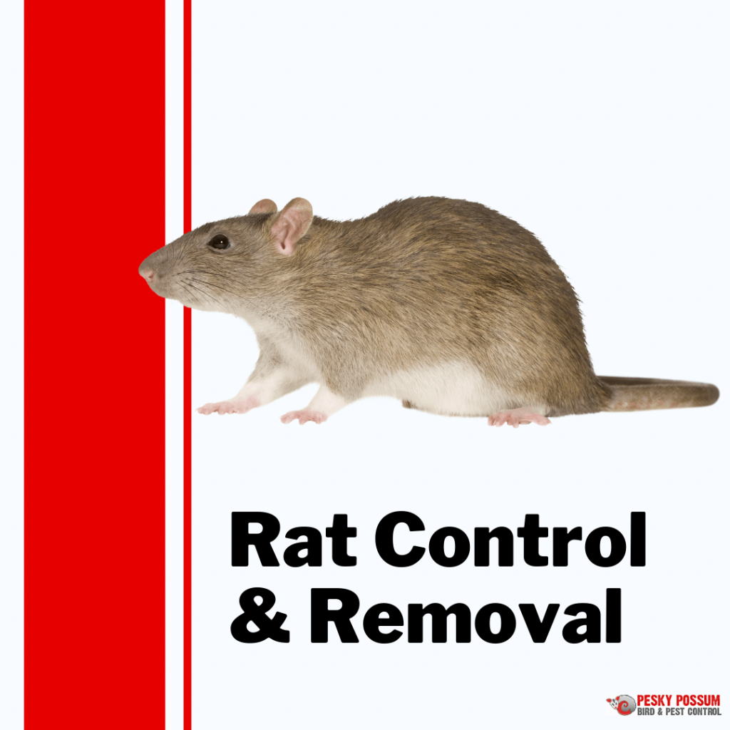 Pesky Possum Bird & Pest Control   Brisbane Rat Control and Removal