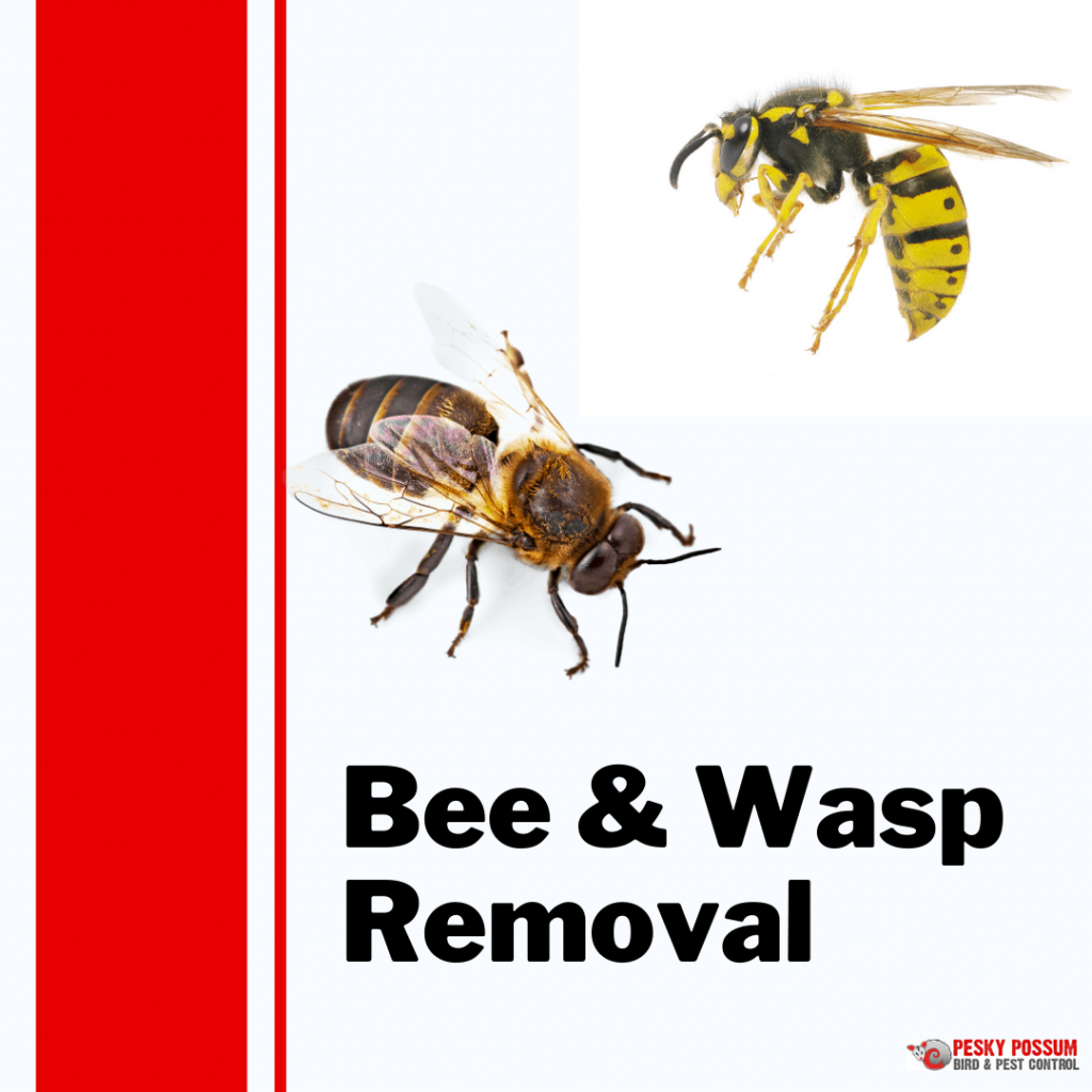 Brisbane Bee and Wasp Removal