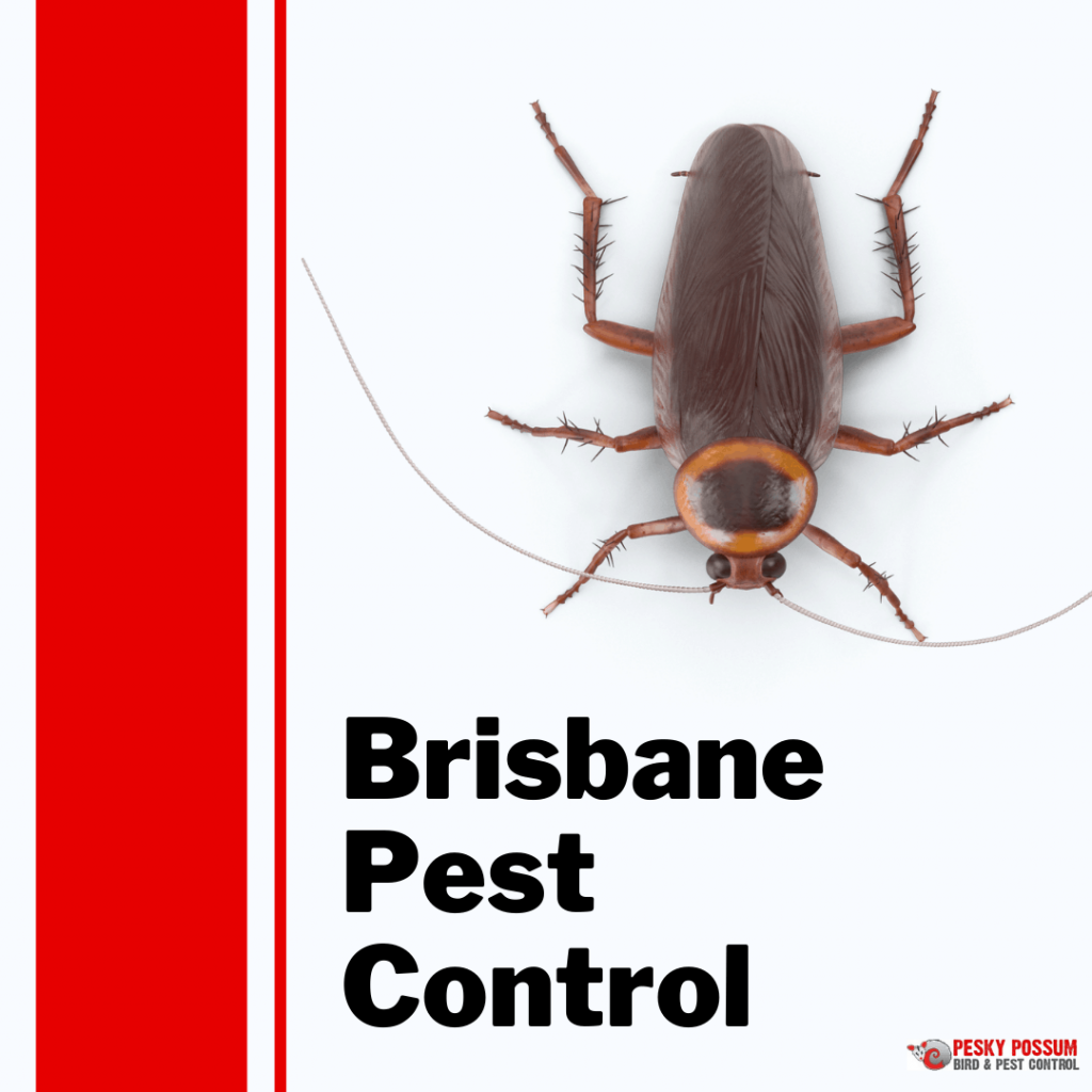 Brisbane pest control   Pesky Possum Bird & Pest Control