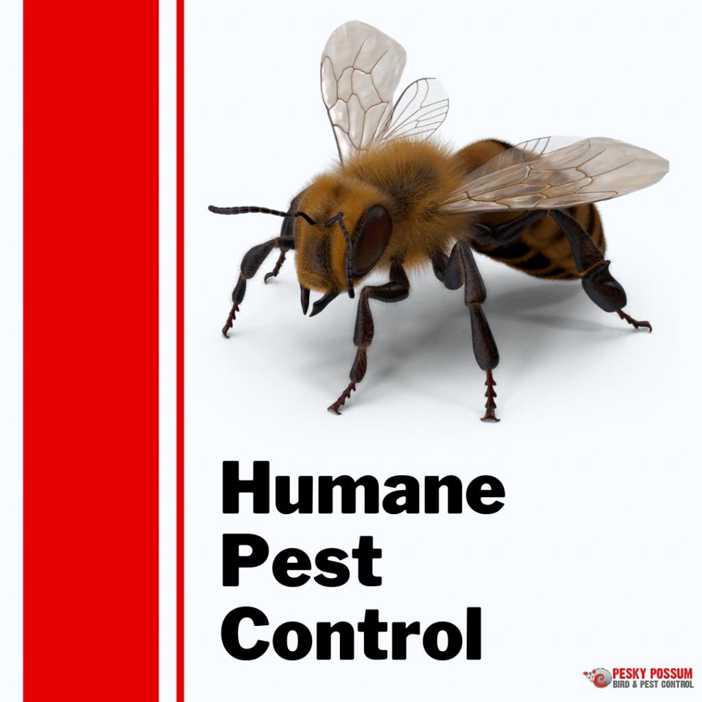 Humane pest control | Pesky Possum Bird & Pest Control